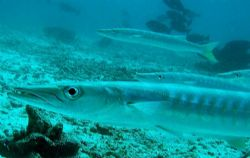 How the site 'Sleeping Barracuda' got its name. There wer... by Dawn Watson 
